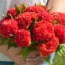 cockscomb flower 2018 cockscomb flower seeds velvet celosia