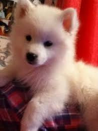 american eskimo dog for sale ontario american eskimo dog bing images great dogs and a few cats