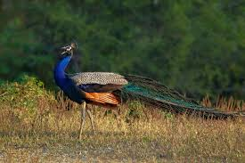 national bird of india indian peacock an essay