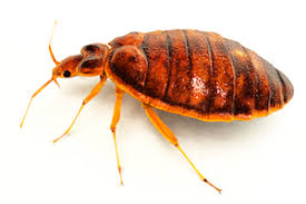 Bed Bug Where Do Bed Bugs Come From Identify Bed Bugs Info