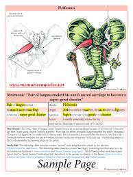 Bicep Innervation Lower Quadrant Memorize Muscles