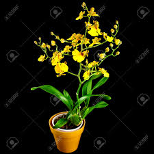 oncidium orchid bright yellow oncidium orchid plant in flowerpot isolated on