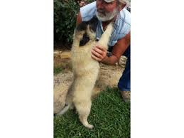 belgian shepherd for sale australia male and female belgian tervuren shepherd puppies for sale