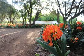 8 south african flowers for american gardens gardenista clivia