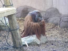 rajang the orangutan in orangutan forest outdoor exhibit at