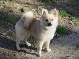 pomeranian haircut styles pomeranian dogs u2013 grooming tips dog