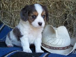 australian shepherd 6 weeks 108 best aussie love images on pinterest aussies animals and