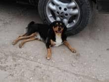 incrocio border collie x australian shepherd incrocio border collie cani in vendita e in regalo kijiji