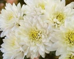 November Flowers White Chrysanthemum Wedding Pinterest White Chrysanthemum