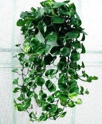 plants low light indoor hanging plants low light good indoor hanging plants low light