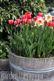 Half Barrel Planters by Tulip And Narcissus In Wine Barrel Planter Plant Fall Bulbs Now