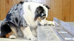 australian shepherd nose the nose knows can dogs be trained to sniff out cancer
