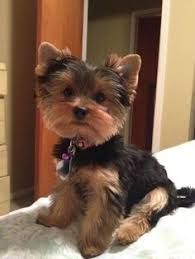 types of yorkie haircuts e responsible healthy loving and forever homes if we get