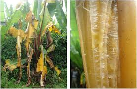 Bacterial Diseases Of Plants - frontiers bacterial diseases of bananas and enset current state