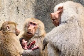 Zoo Lights Oakland Zoo by Oakland Zoo Welcomes Baby Baboon Nbc Bay Area