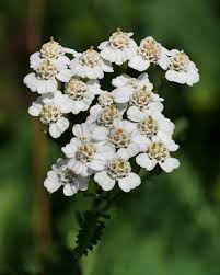 native plants of spain achillea millefolium wikipedia