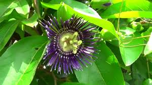 native plants passionflower vine grows medicinal plant blue passion flower or krishna kamal or passiflora