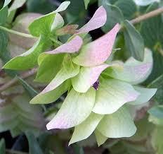 origanum rotundifolium cv kent oregano