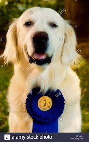dog ribbon golden retriever dog with a ribbon and medal as best in show stock