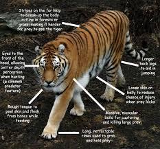 designeranimals tiger
