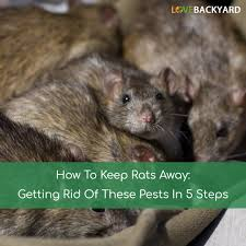 how to keep rats away getting rid of these pests in 5 steps nov