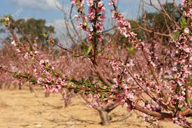 Trees With Pink Flowers Almond Trees With Pink Flowers In Bloom Israel Stock Photo