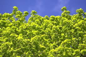 free photo tree leaves light green frisch free image on