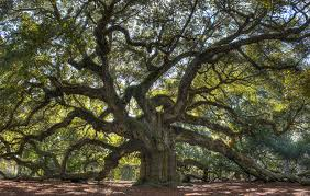 which tree are you celtic calendar and astrology irishcentral com