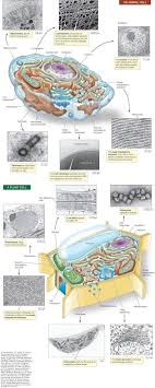 which plant cell organelle uses light energy to produce sugar hillis2e ch04