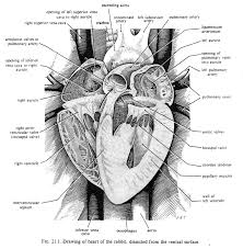 Anatomy Of The Heart And Its Functions Medirabbit