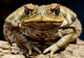 How To Get Rid Of Cane Toads In Backyard Toadally Awesome Toad Facts The Cane Toad In Australia