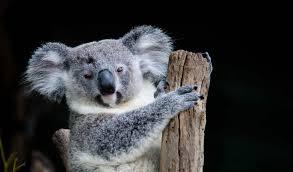 koala facts information u0026 habitat