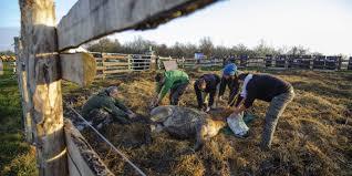 asian wild horses taken from hortobágy to russia photos daily