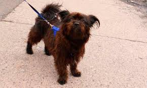 affenpinscher pics affenpinscher dog breed information pictures u0026 more