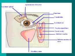 Eye Ducts Anatomy Anatomy Of Eye