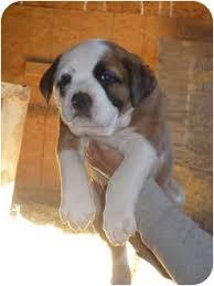 australian shepherd boxer mix browny adopted puppy fort valley ga american bulldog