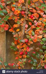 hues of orange cotoneaster shrub with autumnal hues of red and orange fanning out