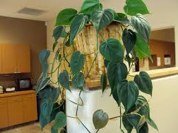 pothos plant good to grow