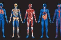 Picture Of Human Anatomy Body The Human Body Anatomy Facts U0026 Functions