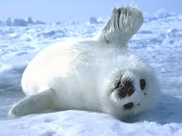 roztomilé zvířátko tuleň