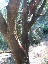 Interior Live Oak Valley Oak That Lost A Large Branch 25 June 2015 Gold Springs