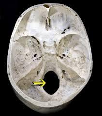 Base Of The Skull Anatomy Foramen Magnum Wikipedia