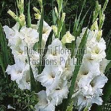 Gladiolus Flowers Gladiolus Flower Manufacturers Suppliers U0026 Exporters In India