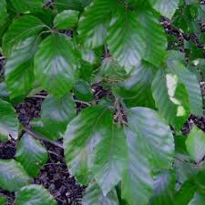 ornamental garden beech trees for sale for a present from uk tree