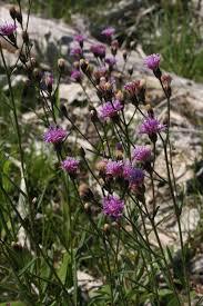 what plants are native to florida native florida wildflowers common ironweed vernonia angustifolia