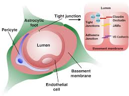 Blood Brain Barrier Anatomy Physical Insights Into The Blood U2013brain Barrier Translocation