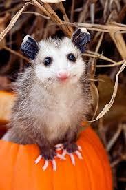 Possum In My Backyard 79 Best Awesome Possum Images On Pinterest Baby Animals Wild