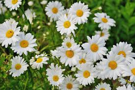 shasta daisies how to plant grow and care for daisy flowers