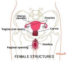 woman s virgina definition of vaginal vestibule