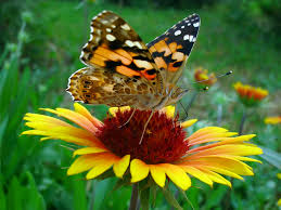 creating beautiful butterfly gardens in your yard to attract the